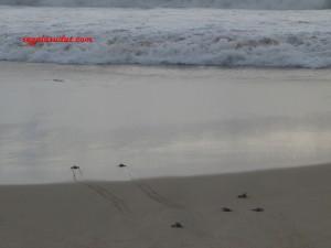 Tukik- tukik berlomba mencapai laut. Semoga selamat semua.