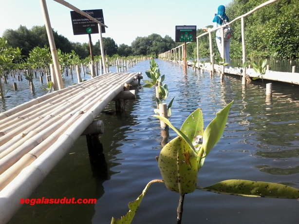 Ladang tanam mangrove.