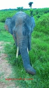 Gajah ABG lagi ngemil