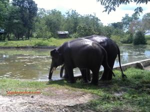 Gajah-gajah cilik menikmati segarnya air seusai 'bekerja'. Pawang menyebut pertunjukan dan tunggangan sebagai ajang kerja para gajah. 21 Maret 2015.
